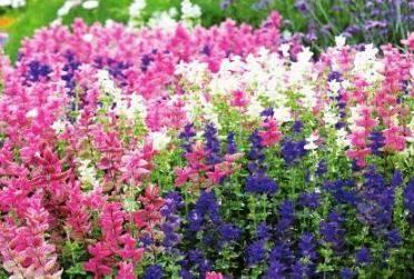 Сальвия: фото цветов, особенности посадки, уход - sadovnikam.ru