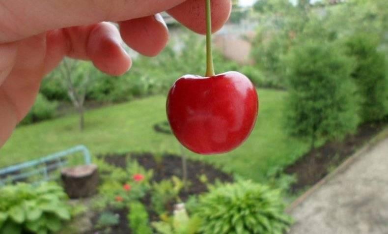 Крупноплодная черешня: опылители, описание сорта