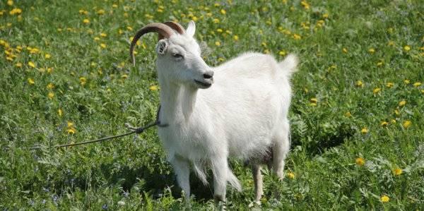 Мастит у козы: причины появления и лечение заболевания