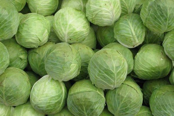 Как повысить урожайность капусты в открытом грунте