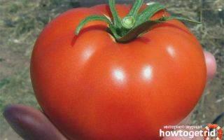 Томат настенька: описание и характеристика сорта, отзывы, фото, урожайность | tomatland.ru