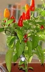✅ выращивание перца на балконе - как вырастить, лучшие сорта, фото - tehnoyug.com