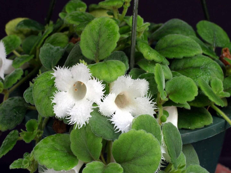 Ампельные комнатные растения: какие виды свисающих цветов существуют и какой висячий цветок самый неприхотливый; правила ухода в домашних условиях