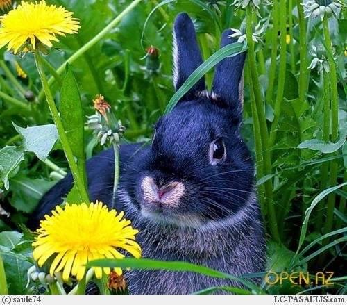 Одуванчики для кроликов: можно ли давать и как