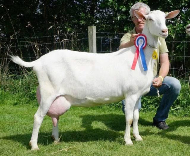 Зааненская коза: описание породы и характеристики