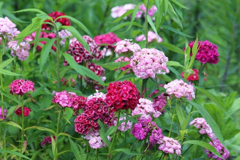 Многолетние садовые гвоздики: виды сортов, посадка и уход + фото