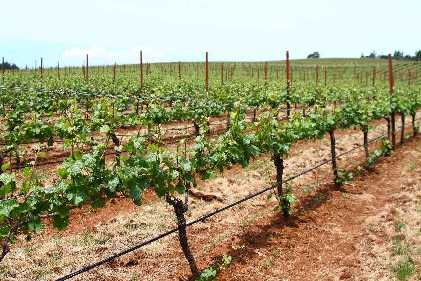 Шпалеры для винограда своими руками: чертежи, фото, видео