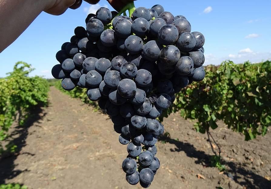 Виноград северный сладкий: описание сорта и особенности его выращивания
