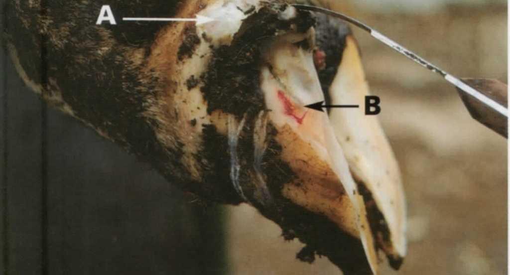 Козы породы ламанча: описание, фото