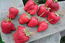 Клубника эльвира: основные достоинства сорта и агротехника выращивания садовой земляники
