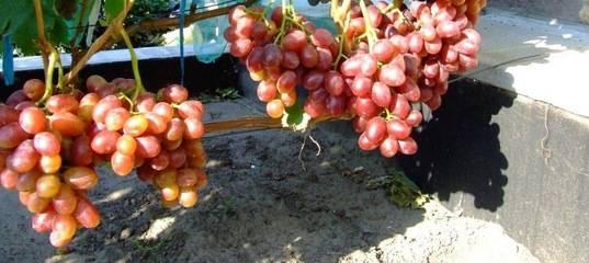 Виноград фаворит. описание сорта, фото, отзывы