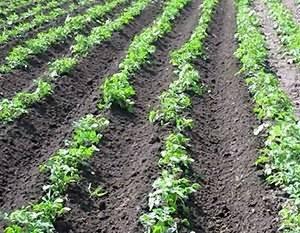 Тонкости процесса окучивания картофеля мотоблоком