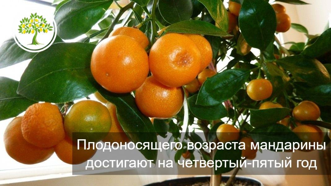 Мандарин уншиу — википедия. что такое мандарин уншиу