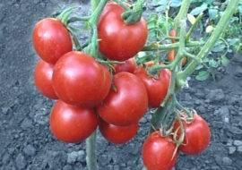 Томат толстой f1: характеристика и описание гибрида, выращивание