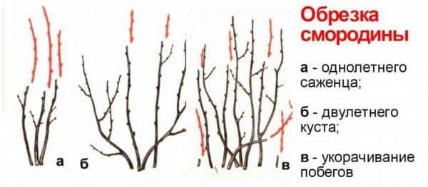 Обрезка смородины осенью для начинающих: сроки, инструкции, советы