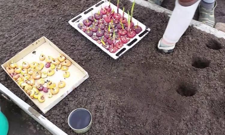 Посадка гладиолусов весной в грунт.