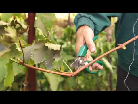 Правила осенней посадки винограда чубуками в грунт