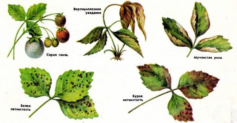 Обработка клубники осенью от вредителей и болезней - всё о цветах