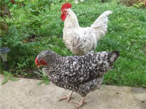 Голубые куры (26 фото): описание русской, андалузской и других пород. содержание кур-несушек, петухов и цыплят