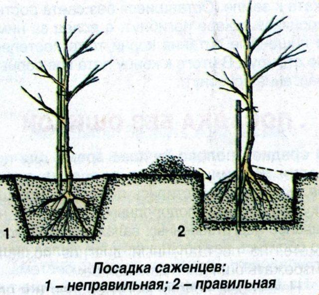 Посадка груши с закрытой корневой системой - пошаговая инструкция