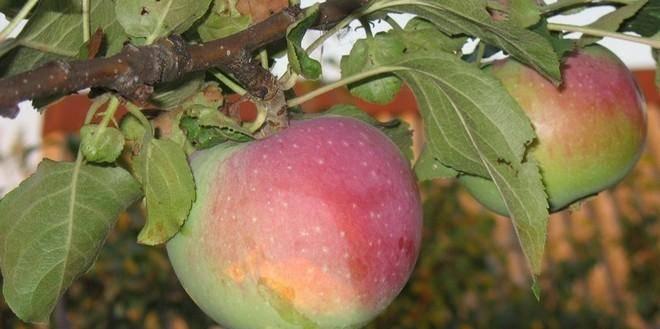 Яблоня уэлси: описание, фото, отзывы опытных садоводов. технология посадки и ухода за яблоней на территории россии