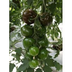 Сорт томата виагра