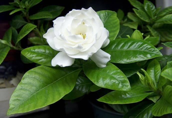 Гардения: уход в домашних условиях, фото цветка