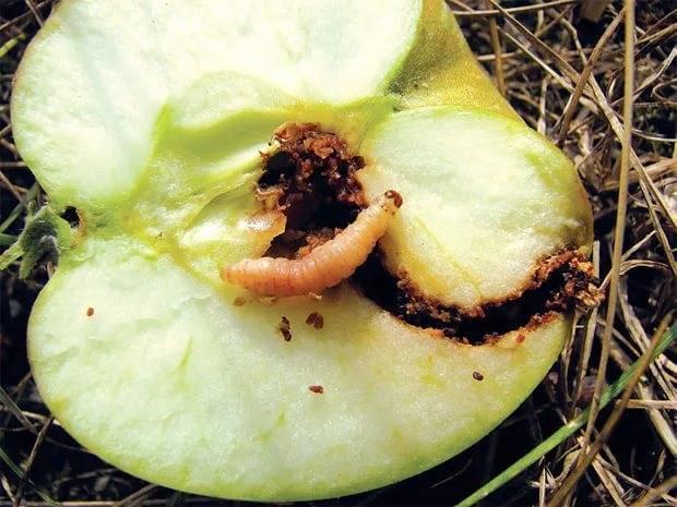 Как бороться с плодожоркой в саду? эффективные способы