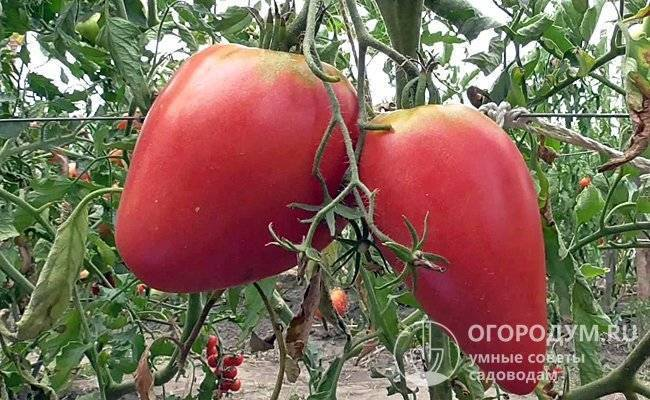 Томат чудо земли: розовоплодный рекордсмен