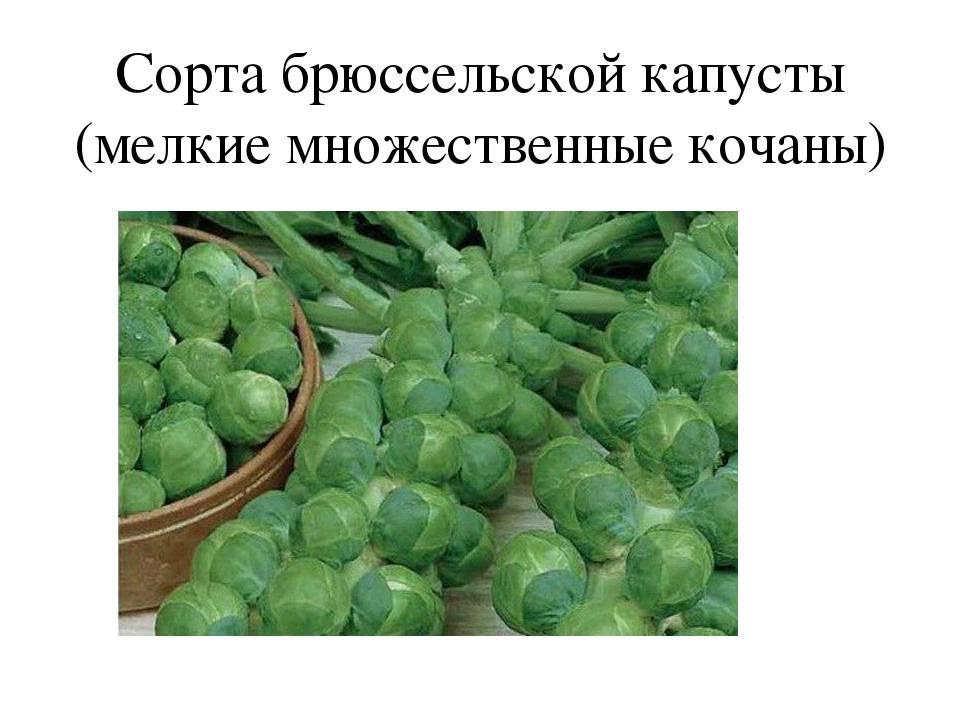 Дикий предок капусты. история капусты