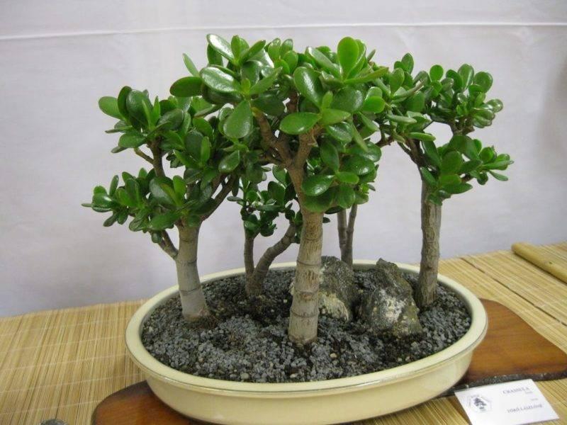 Толстянка (денежное дерево): виды, сорта, выращивание и уход