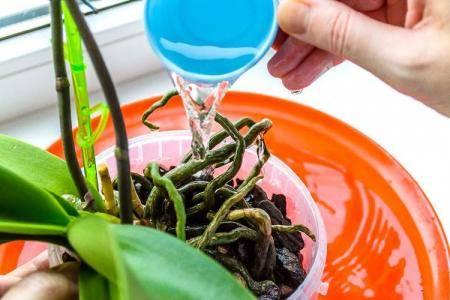 Особенности полива орхидей