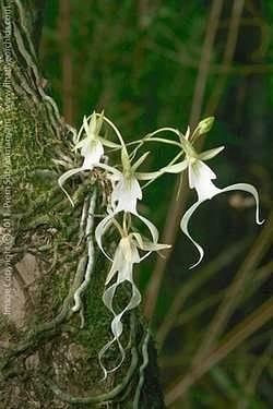 Тигровая орхидея: фото и описание оригинального вида и его домашних аналогов, пригодных для выращивания дома, а также правила ухода, пересадки и размножения