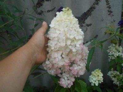 Посадка гортензии сандей фрайз и уход за растением