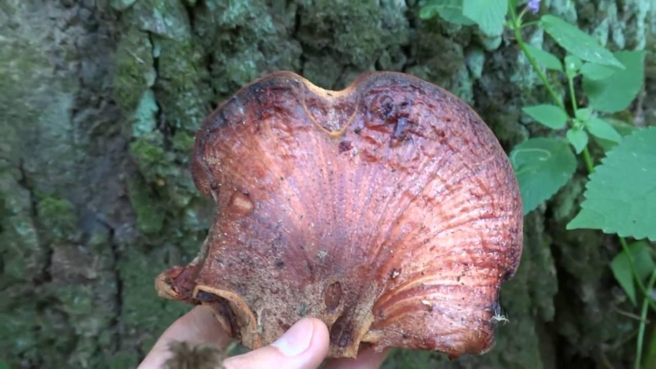 Как приготовить гриб печеночник