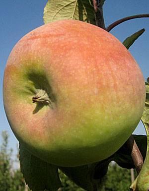 Яблоня чудное: описание и основные характеристики сорта