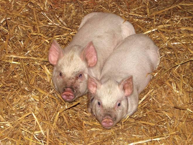 Профилактика и лечение запоров у декоративных свиней и поросят