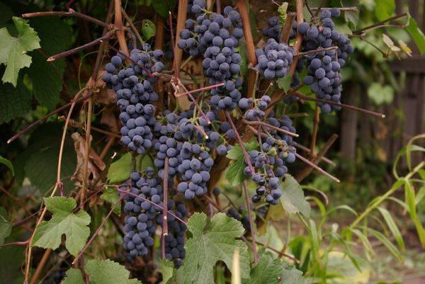 Виноград северный саперави