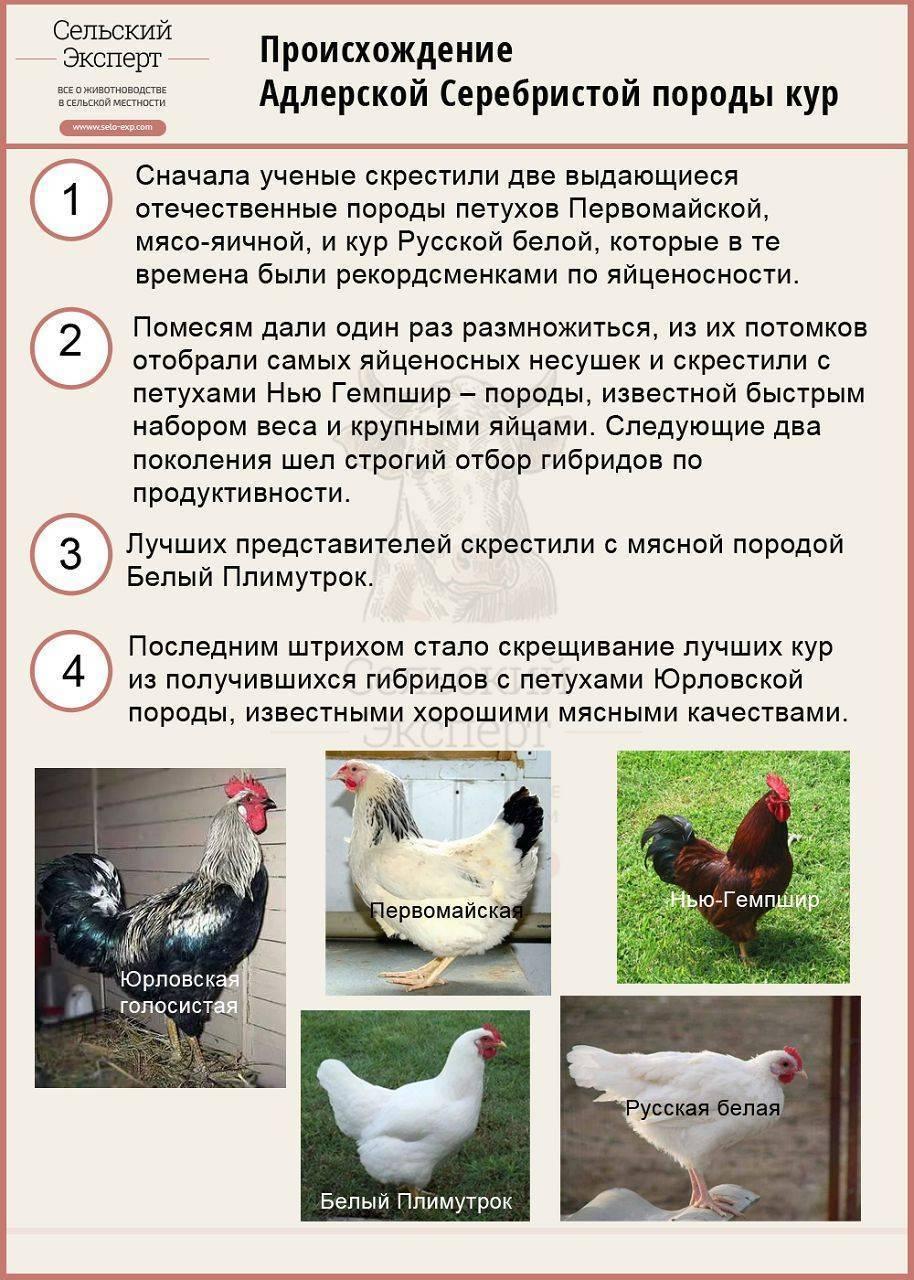 Первомайская порода кур: плюсы и минусы