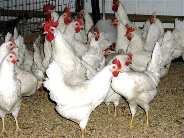 Описание русской белой породы кур
