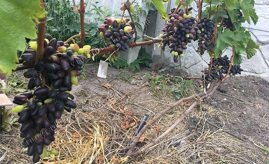 Виноград сувенир – описание сорта, фото, отзывы о вкусе и пользе ягоды