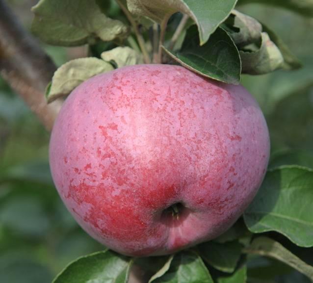 Сорт яблони подарок графскому: описание, фото