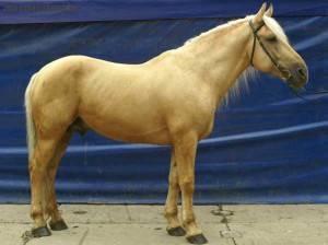 Горские породы лошадей: описание | конный портал