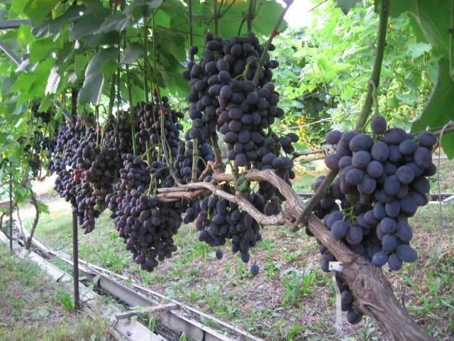 Виноград красень: описание сорта