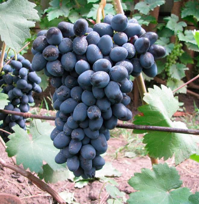 Виноград черный жемчуг - мир винограда - сайт для виноградарей и виноделов