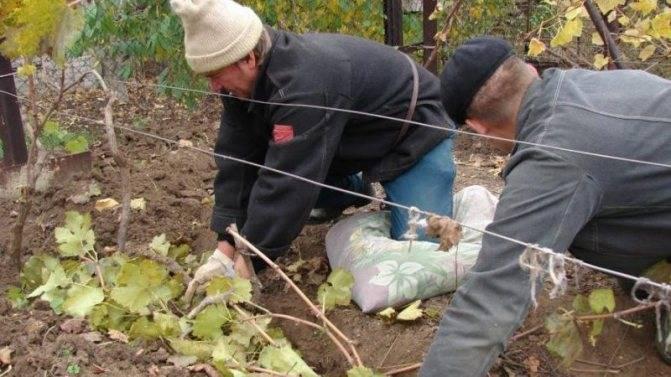 Как обработать виноград перед зимой