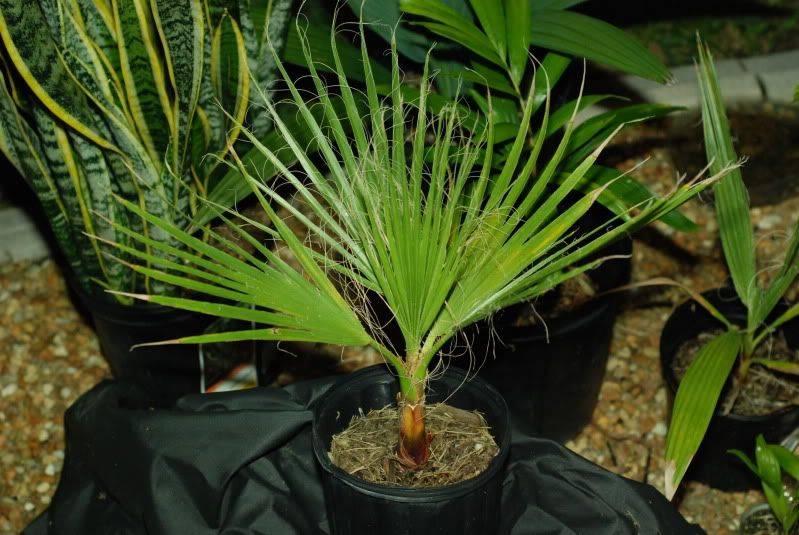 Вашингтония: выращивание пальмы из семян и уход за ней в домашних условиях, описание комнатного растения и фото сортов нитеносная (нитчатая), робуста