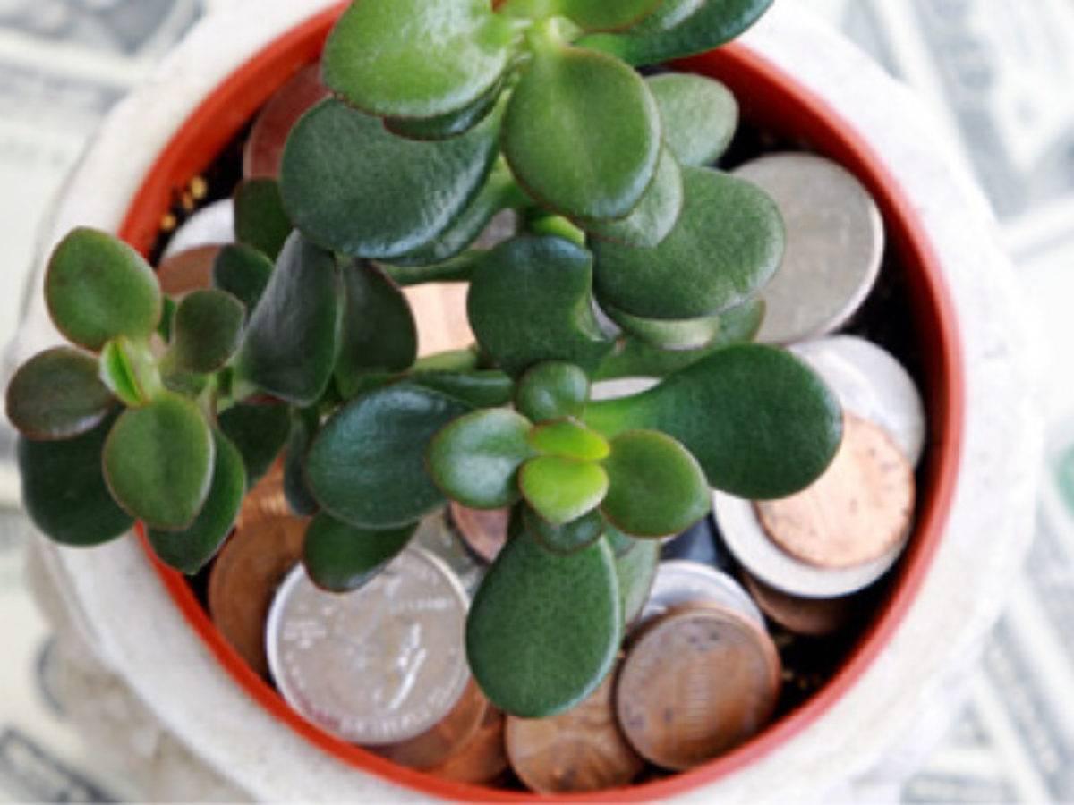 Уход в домашних условиях за денежным деревом