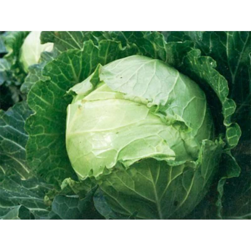 Капуста ринда f1: описание сорта, особенности выращивания, когда сеять семена, отзывы, фото