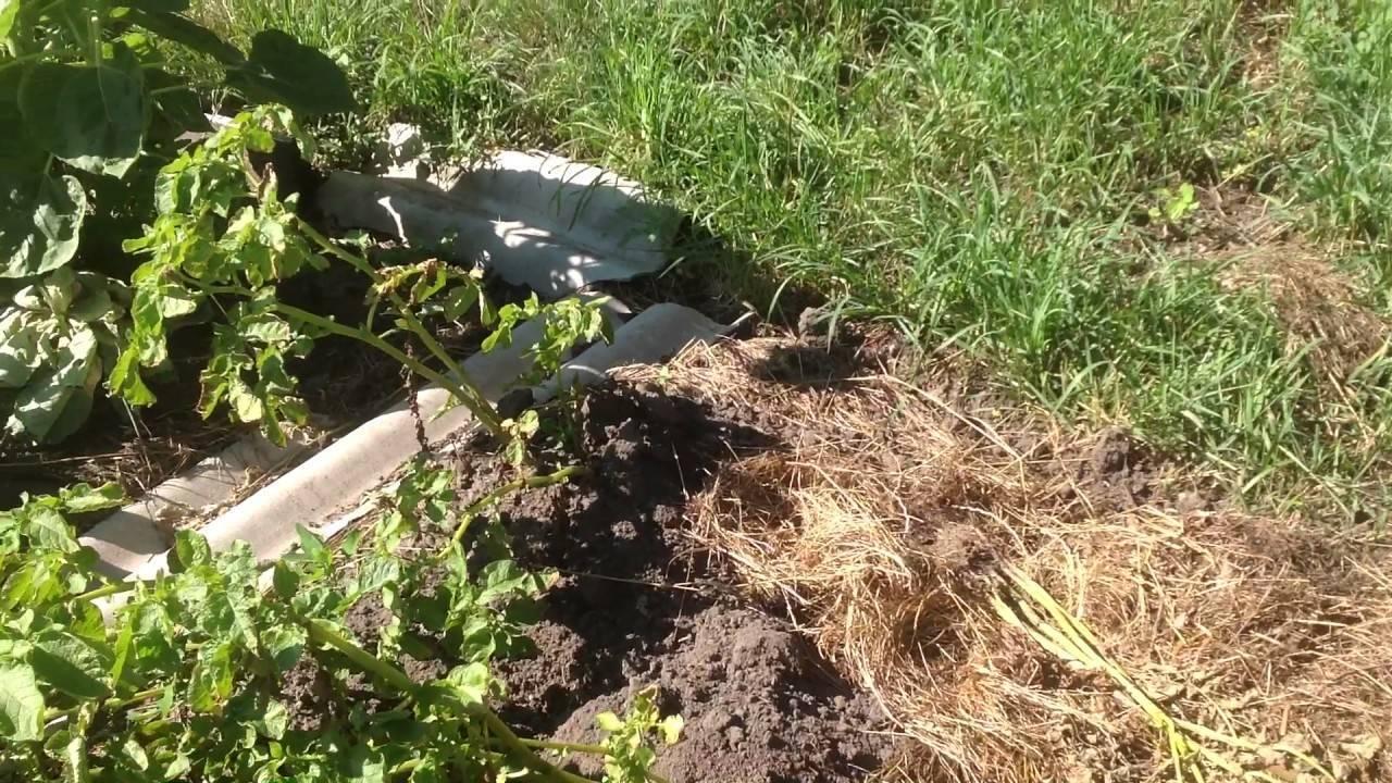 Когда опрыскивать картофель от колорадского жука: эффективные средства